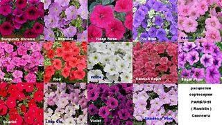 1024 X 580 150.2 Kb Продам рассаду сортовых петуний и других однолеток из профессиональных семян.