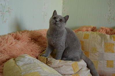 1920 X 1281 503.4 Kb 1920 X 1281 348.1 Kb 1920 X 1281 419.2 Kb 1920 X 1281 545.1 Kb Питомник британских кошек Cherry Berry's. У нас родились котята!