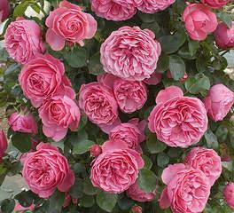 440 X 400 121.8 Kb Саженцы английских роз (ЗКС), флоксов, хризантем, дельфиниумов, стол.винограда и др.