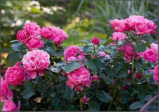 807 X 568 346.8 Kb 440 X 400 121.8 Kb Саженцы английских роз (ЗКС), флоксов, хризантем, дельфиниумов, стол.винограда и др.