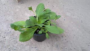 1920 X 1079 314.8 Kb 1920 X 1079 332.8 Kb Продам рассаду сортовых петуний и других однолеток из профессиональных семян.