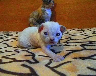 935 X 743 183.5 Kb Девон рекс - эльфы в мире кошек - у нас есть котята
