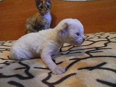 1024 X 768 193.0 Kb Девон рекс - эльфы в мире кошек - у нас есть котята