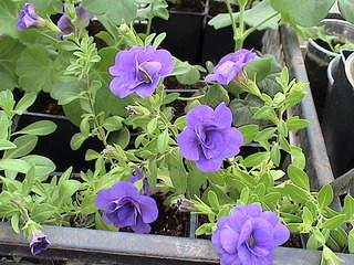 1152 X 864 451.8 Kb Продажа редких растений из питомника 'Мой сад'