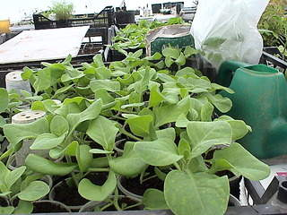 1152 X 864 430.2 Kb 1152 X 864 475.4 Kb Продажа редких растений из питомника 'Мой сад'