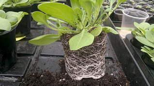1920 X 1079 424.2 Kb 1920 X 1079 421.2 Kb Продам рассаду сортовых петуний и других однолеток из профессиональных семян.