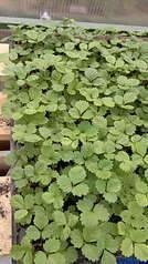 1920 X 3416 623.1 Kb Продам рассаду сортовых петуний и других однолеток из профессиональных семян.