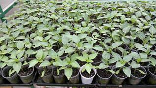 1920 X 1079 333.5 Kb 1920 X 3416 623.1 Kb Продам рассаду сортовых петуний и других однолеток из профессиональных семян.
