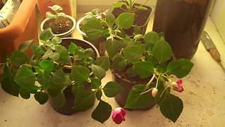 1872 X 1056 300.3 Kb Цветы для вашего сада, кафе, придомовой территории. КУПИМ многолетники