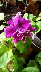 1056 X 1872 355.2 Kb 1872 X 1056 300.3 Kb Цветы для вашего сада, кафе, придомовой территории. КУПИМ многолетники