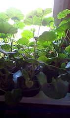 1088 X 1824 250.4 Kb Цветы для вашего сада, кафе, придомовой территории. КУПИМ многолетники