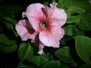 1280 X 960 158.7 Kb 1872 X 1056 295.8 Kb Цветы для вашего сада, кафе, придомовой территории. КУПИМ многолетники