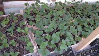 1920 X 1079 285.5 Kb Продам рассаду сортовых петуний и других однолеток из профессиональных семян.