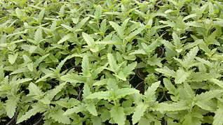 1920 X 1079 281.1 Kb Продам рассаду сортовых петуний и других однолеток из профессиональных семян.