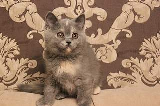 519 X 346  79.4 Kb Британцы Ричард - Чемпион Мира WCF, Лекси и Бриана. У нас есть котята!