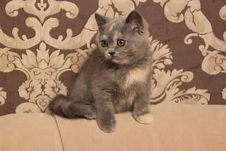 519 X 346  83.5 Kb 519 X 346  79.4 Kb Британцы Ричард - Чемпион Мира WCF, Лекси и Бриана. У нас есть котята!