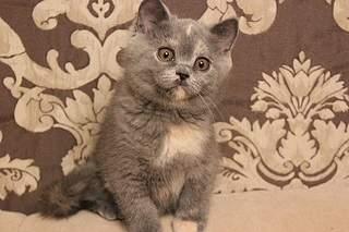 519 X 346  75.3 Kb 519 X 346  81.1 Kb 519 X 346  83.5 Kb 519 X 346  79.4 Kb Британцы Ричард - Чемпион Мира WCF, Лекси и Бриана. У нас есть котята!