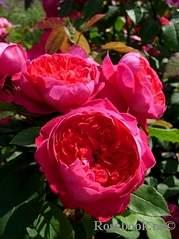 320 X 427 116.2 Kb Саженцы английских роз (ЗКС), флоксов, хризантем, дельфиниумов, стол.винограда и др.