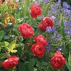 960 X 960 384.3 Kb 320 X 427 116.2 Kb Саженцы английских роз (ЗКС), флоксов, хризантем, дельфиниумов, стол.винограда и др.