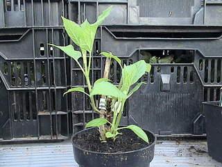 1152 X 864 441.1 Kb Продажа редких растений из питомника 'Мой сад'