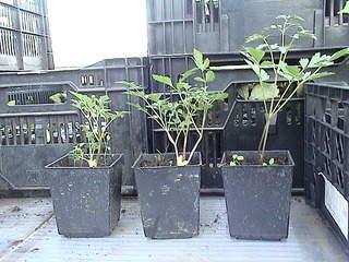 1152 X 864 434.0 Kb 1152 X 864 440.2 Kb 1152 X 864 441.1 Kb Продажа редких растений из питомника 'Мой сад'