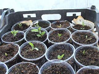 1152 X 864 421.4 Kb Продажа редких растений из питомника 'Мой сад'