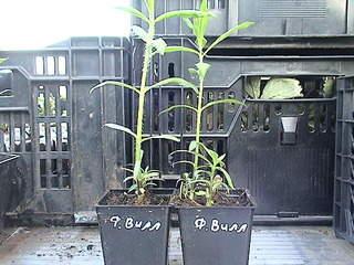 1152 X 864 432.2 Kb 1152 X 864 426.6 Kb 1152 X 864 421.4 Kb Продажа редких растений из питомника 'Мой сад'