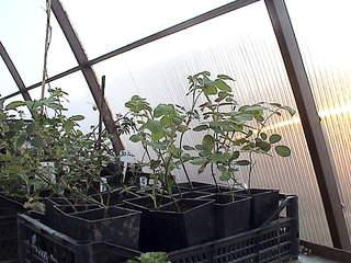 1152 X 864 400.7 Kb 1152 X 864 444.2 Kb 1152 X 864 437.6 Kb Продажа редких растений из питомника 'Мой сад'