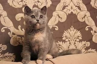 519 X 346  79.7 Kb 519 X 346  72.9 Kb 519 X 346  70.5 Kb 519 X 346  89.2 Kb Британцы Ричард - Чемпион Мира WCF, Лекси и Бриана. У нас есть котята!