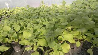 1920 X 1079 233.5 Kb Продам рассаду сортовых петуний и других однолеток из профессиональных семян.