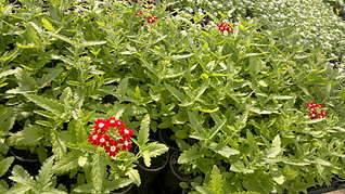 1920 X 1079 363.5 Kb Продам рассаду сортовых петуний и других однолеток из профессиональных семян.