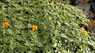 1920 X 1079 409.6 Kb 1920 X 1079 363.5 Kb Продам рассаду сортовых петуний и других однолеток из профессиональных семян.