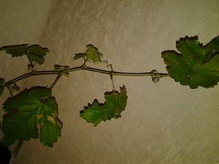 2048 X 1536 250.2 Kb 2048 X 1536 257.0 Kb Саженцы винограда. Продам.