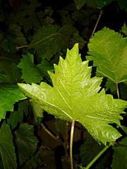 1536 X 2048 266.3 Kb 1536 X 2048 261.9 Kb Саженцы винограда. Продам.