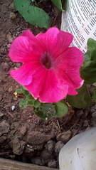1056 X 1872 341.1 Kb Цветы для вашего сада, кафе, придомовой территории. КУПИМ многолетники