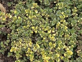 1152 X 864 256.7 Kb Продажа редких растений из питомника 'Мой сад'