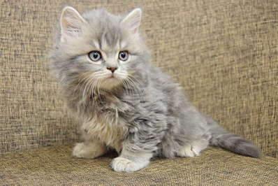 1920 X 1281 298.5 Kb Питомник британских кошек Cherry Berry's.