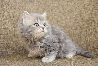 1920 X 1281 307.6 Kb Питомник британских кошек Cherry Berry's.
