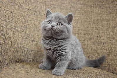 1920 X 1281 340.5 Kb Питомник британских кошек Cherry Berry's. Помет С!