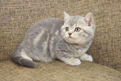1920 X 1281 423.2 Kb 1920 X 1281 340.5 Kb Питомник британских кошек Cherry Berry's. Помет С!