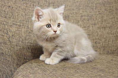 1920 X 1281 329.4 Kb 1920 X 1281 336.5 Kb 1920 X 1281 287.6 Kb 1920 X 1281 423.2 Kb 1920 X 1281 340.5 Kb Питомник британских кошек Cherry Berry's. Помет С!