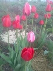 1944 X 2592 868.7 Kb Тюльпаны, нарциссы, ирисы, крокусы - все весенние луковичные