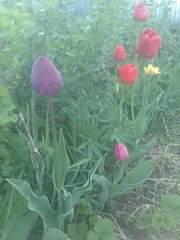 1944 X 2592 429.3 Kb 1944 X 2592 868.7 Kb Тюльпаны, нарциссы, ирисы, крокусы - все весенние луковичные