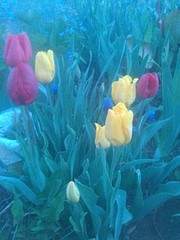 1944 X 2592 439.9 Kb 1944 X 2592 429.3 Kb 1944 X 2592 868.7 Kb Тюльпаны, нарциссы, ирисы, крокусы - все весенние луковичные