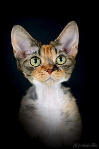603 X 905 137.3 Kb 603 X 905 113.7 Kb Девон рекс - эльфы в мире кошек - у нас есть котята