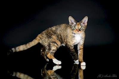 905 X 603 113.4 Kb 905 X 603 99.9 Kb 603 X 905 137.3 Kb 603 X 905 113.7 Kb Девон рекс - эльфы в мире кошек - у нас есть котята