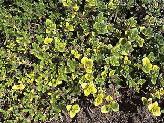 1152 X 864 454.6 Kb Продажа редких растений из питомника 'Мой сад'
