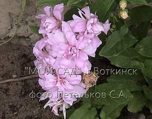 940 X 736 127.9 Kb 1152 X 864 276.1 Kb 1152 X 864 204.4 Kb Продажа редких растений из питомника 'Мой сад'
