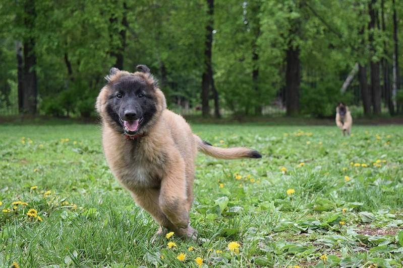2048 X 1365 305.6 Kb Бельгийска Овчарка- воплощение силы и грации.У нас родились щенки БО ТЕРВЮРЕНА!