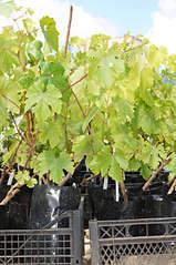 1920 X 2884 662.3 Kb Саженцы английских роз (ЗКС), флоксов, хризантем, дельфиниумов, стол.винограда и др.